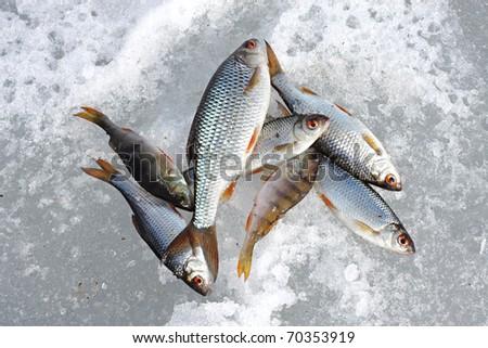 River fish lies on snow. Winter fishing