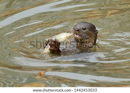 River Otter eating fish in Singapore