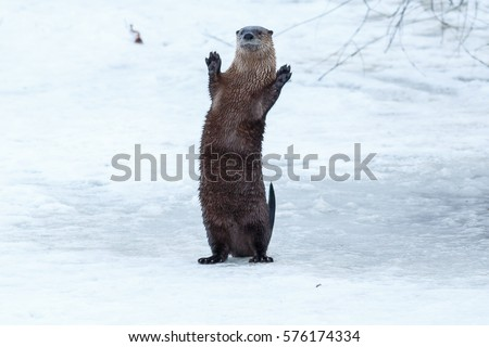 River otter standing and waving on the ice, California, Tulelake, Lower Klamath National Wildlife Refuge, Taken 01.2017