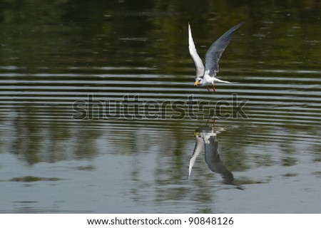 River Tern Bird in flight with a small fish. The reflection can be seen in the water.