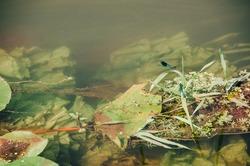 River with plants and bugs, aquatic plants, aquatic life