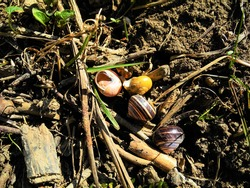 riverside shells. sea shells and broken open big shells. animal food. wild animals. wild food. pink snail shell. yellow snail shell. striped shells. looks like birds brought them here from the river.