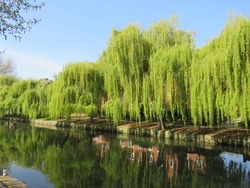 Riverside weeping willows along the river bank in Norwich UK.  The willows are reflected in the River Wensum.