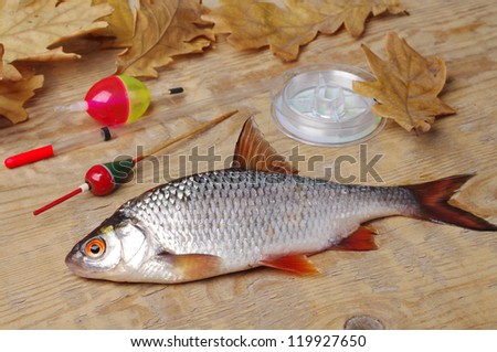 Roach, bobbers and fishing line  on wooden background