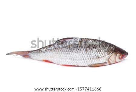 Roach river fish isolated on white background