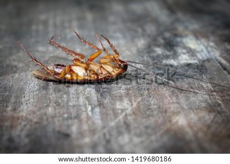 Roaches lie dead on wooden floor, Dead cockroach ,Close up face , Close up roaches
