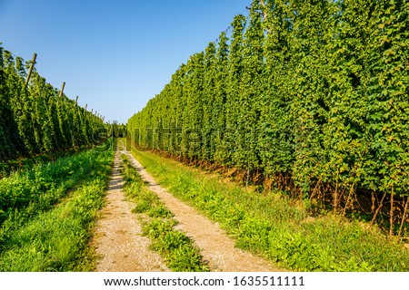 Road between big hop plants. Green fresh Hop alley in hop yard. Green fresh Hops plant growing in world largest area of hops agriculture, Hallertau, Holledau, Bavaria Countryside.