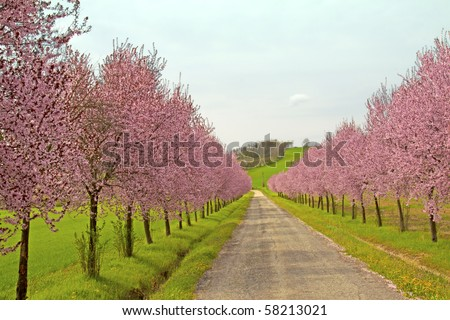 Road coasted by peach trees full of pink flowers, in the country