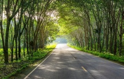 Road in para rubber tree, latex rubber plantation and tree rubber garden in southern Thailand