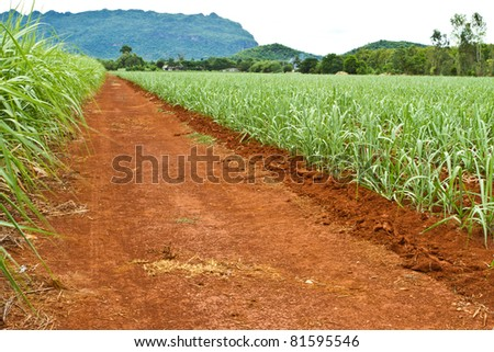 Road in sugar cane farmland