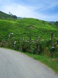 Road in tea plantations, Cameron Highlands, Malaysia