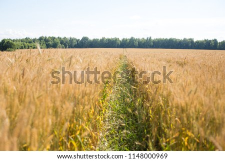 road in the big wheat field #1148000969