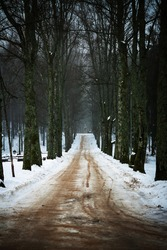 Road into forest! Big tree alley in winter.