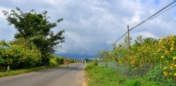 Road on the Dalat Plateau with a lot of wild sunflowers blooming in autumn.