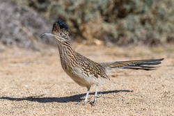 Road runner bird walking around