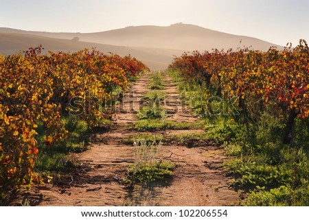 Road running through back lit vineyard with rich fall colors and distant hills.