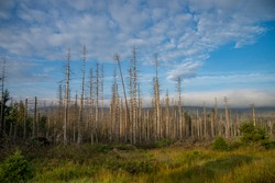 Road through a forest of dead trees. Forest dieback in the Harz National Park, Saxony-Anhalt, Germany, Europe. Dying spruce trees, drought and bark beetle infestation, summer of 2021.