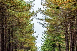 Road through spruce pine tree forest lining in symmetry in Dolly Sods, West Virginia in autumn fall looking up low angle view of cloudy sky and needles