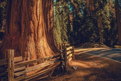 Road Through the California Sequoias National Park. Giant Sequoia Tree Behind Wooden Fence Next to the Road. California, United States of America.