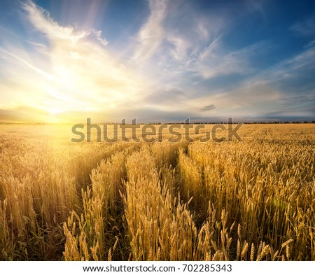 Road to the field with the yellow ripening wheat ears. Rustic field at sunset. The idea of a rich harvest, growth and prosperity. The concept of a successful move forward. #702285343