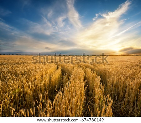 Road to the field with yellow ripening wheat ears. Rustic field at sunset. The idea of a rich harvest, growth and prosperity. The concept of a successful move forward. #674780149