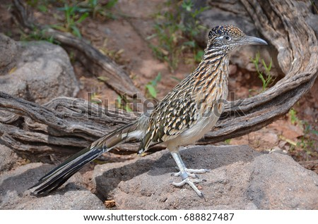 Shutterstock Roadrunner, chaparral bird or chaparral cock, is a fast-running ground cuckoo. It is found in the United States and Mexico usually in the desert. Some have been clocked at 20 miles per hour (32 km/h).