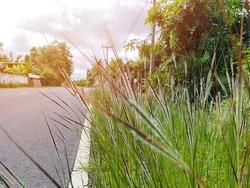 Roadside grass flowers blooming in season
