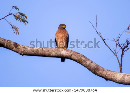 Roadside Hawk photographed in Linhares, Espirito Santo. Southeast of Brazil. Atlantic Forest Biome. Picture made in 2013.