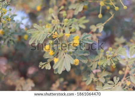 Roadsides,Sandy Area's Garat or sanat tree - indica is widely planted in the Gulf and presumably in Qatar Stok fotoğraf ©