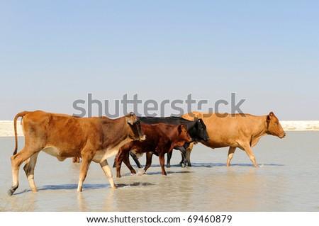 roaming cattle in the kalahari