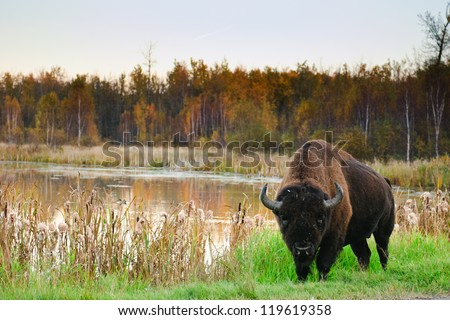 Roaming herds of wild Plains Bison, Elk Island National Park Alberta Canada