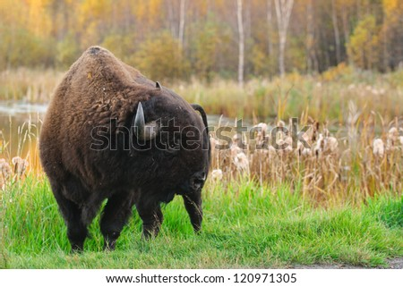 Roaming herds of wild Plains Bison, Elk Island National Park Alberta Canada