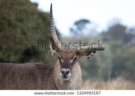 Roan antelope with broken antler. Photographed at Port Lympne Safari Park near Ashford Kent UK. #1204983187