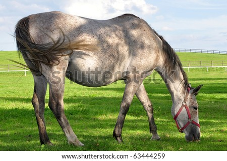 roan horse at grazing