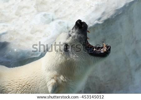 roar of polar bear on ice bacground #453145012