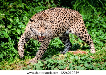 Roar tiger leopard jaguar animal wildlife hunting / beautiful jaguar walking in jungle looking food stalking follow its prey in the forest national park #1226010259
