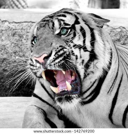 Cool White Tigers wallpaper background | Animals | Pinterest ...