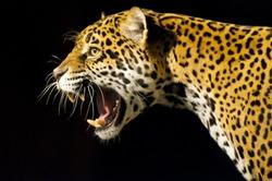 Roaring Adult Female Jaguar over black background