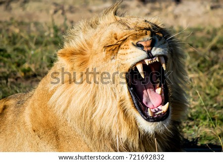 Roaring Lion Head #721692832