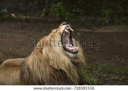 Roaring lion, headshot #728381536