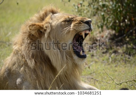 Roaring lion in masaimara national reserve #1034681251