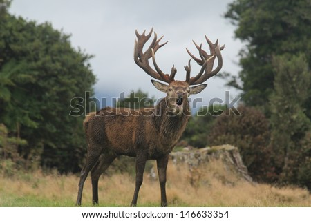 Roaring Red Stag With Huge Rack #146633354