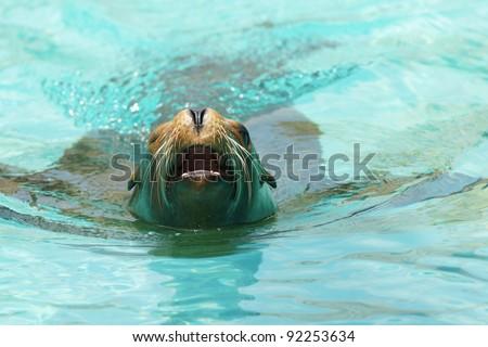 Roaring sea lion - seal