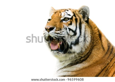 Roaring tiger - isolated on white background
