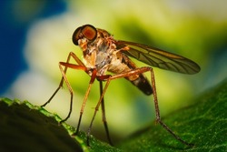 Robber fly (Asilidae) from a frog's perspective