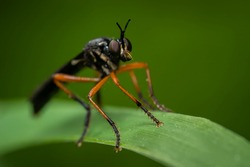 Robber fly (Asilidae) sitting on a blade of grass. Black fly with orange legs in its habitat. Insect detailed portrait with soft green background. Wildlife scene from nature. Czech Republic