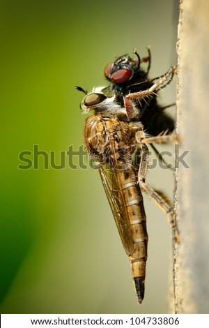 robber fly eating