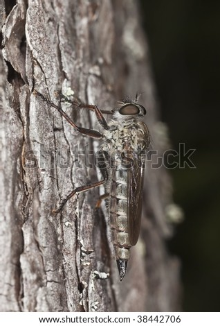 Robber fly. Extreme close-up. This fly is a predator on other insects. - stock photo