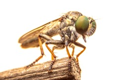 Robber fly hold on branch ,it hunter insects, on isolate background