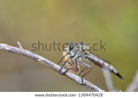 Robber fly hunting a insects. Asilidae Insect. Natural background.  #1384470428